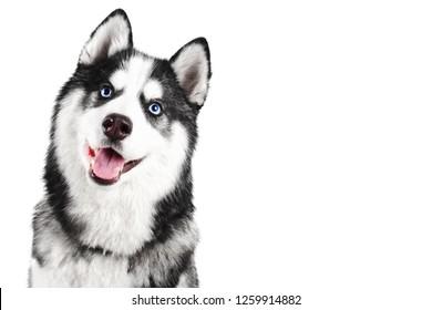 コピースペースで白い背景に分離された舌が突き出ている青い目の美しい笑顔のシベリアンハスキー犬の肖像画