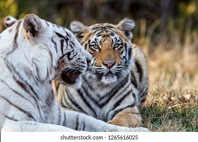 Hembra de tigre blanco con su cachorro no blanco en una reserva de caza en Sudáfrica