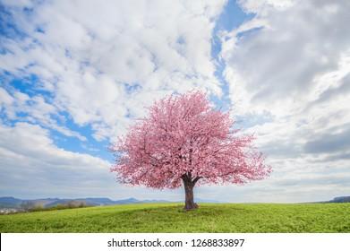 Boom op een groene weide. Bloeiende boom roze kersensakura in het voorjaar. Eenzame en geïsoleerde boom midden in het lentelandschap.