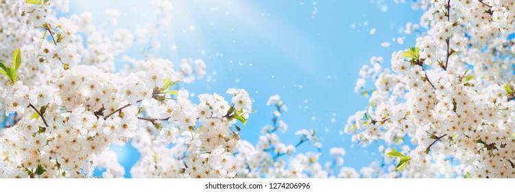 Zweige des blühenden Kirschmakros mit weichem Fokus auf sanftem hellblauem Himmelhintergrund im Sonnenlicht mit Kopienraum. Schönes Blumenbild des Frühlingsnaturpanoramablicks.