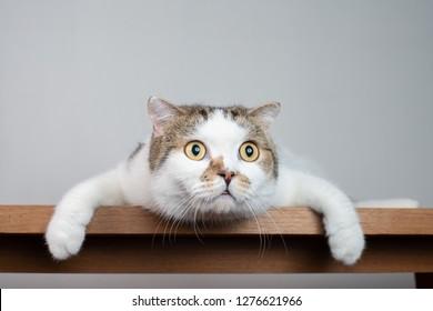 Cierre la cabeza del gato Scottish Fold con cara impactante y ojos bien abiertos. Gato asustado o sorprendido cuando mira algo.