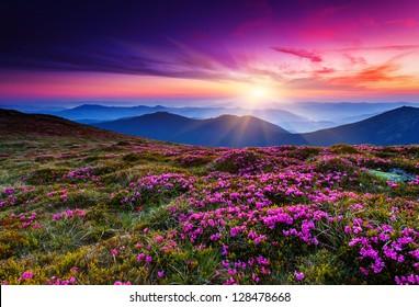 夏の山の魔法のピンクのシャクナゲの花。カルパティア山脈、ウクライナ。