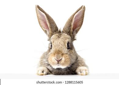 看板を見ている灰色のふわふわうさぎ。白い背景で隔離。イースターのウサギ