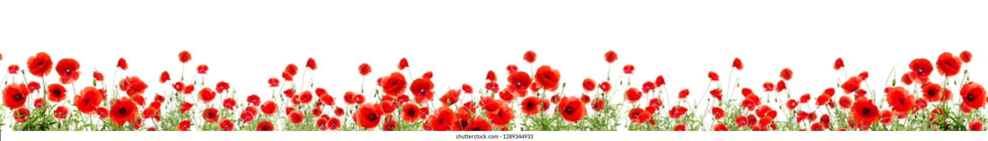 Poppies of different sizes on a white background.