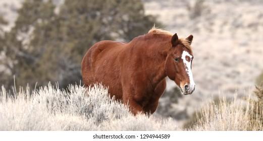 野生の馬ブラッドピットネバダ