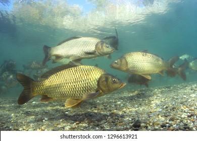 美しいきれいなポンドの淡水魚のコイ(Cyprinuscarpio)。澄んだ水で泳ぐコイのグループ。湖での水中写真。野生動物。自然の生息地の鯉。