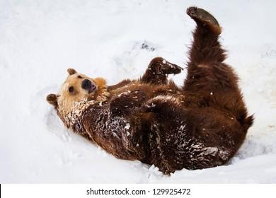 Glücklicher Braunbär, der im Schnee spielt