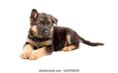Hermoso cachorro de pastor alemán. Perros lindos y divertidos sobre un fondo blanco aislado.