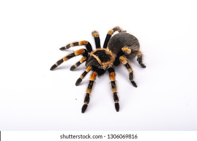 Spider Tarantula brachipelma smithi on white background
