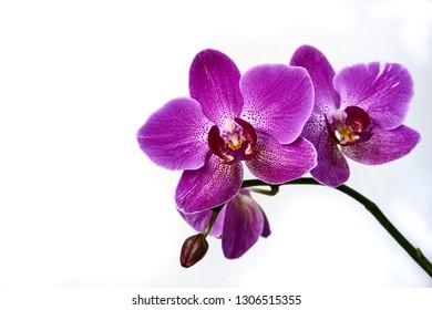 Phalaenopsis, phalaenopsis o falah de la flor de la orquídea púrpura sobre un fondo blanco. Flores de phalaenopsis púrpura a la derecha. conocidas como orquídeas mariposa. Enfoque selectivo. Hay un lugar para tu texto.