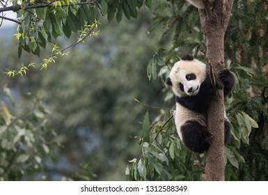 Riesenpanda, Ailuropoda melanoleuca, ungefähr 6-8 Monate alt, klammert sich an einen Baum hoch über dem Boden.