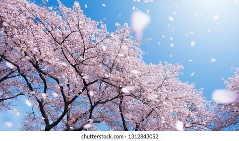 Khung cảnh tráng lệ của những cánh hoa anh đào bay bổng trong gió xuân. Tập trung vào cây cối.