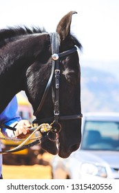 Black Indian Horse, Holding by person to ride at Mahabaleshwar, Maharashtra, India. Mustang
