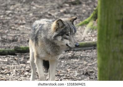 Wolf in the Forest (Euraziatische Wolf)