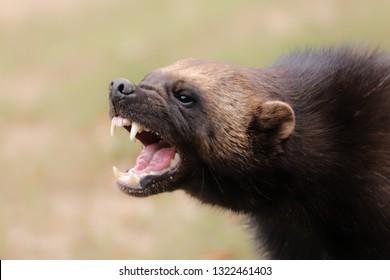 Portrait wild wolverine. Portrait from animal´s world.