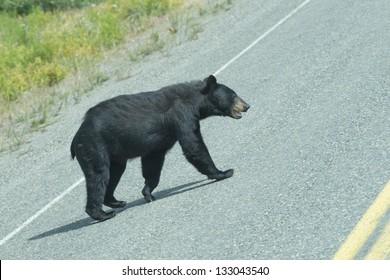 A black bear crossing the road in Alaska British Columbia