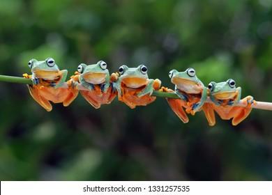 枝に座っている美しいジャバンアマガエル、橋の上に並んで飛んでいるカエル