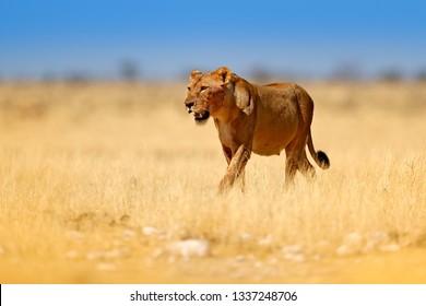Safari in Afrika. Grote boze vrouwelijke leeuw in Etosha NP, Namibië. Afrikaanse leeuw die in het gras, met mooi avondlicht loopt. Wildlife scène uit de natuur. Dier in de habitat.