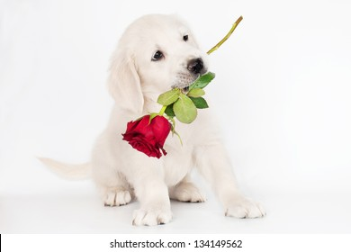 golden retriever puppy with a rose flower in his mouth