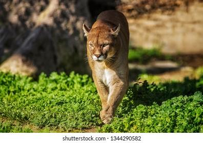 Puma (Puma concolor), een van 's werelds top vijf wildste katten in het Zuid- en Noord-Amerikaanse continent, staat ook bekend als een agressief dier.