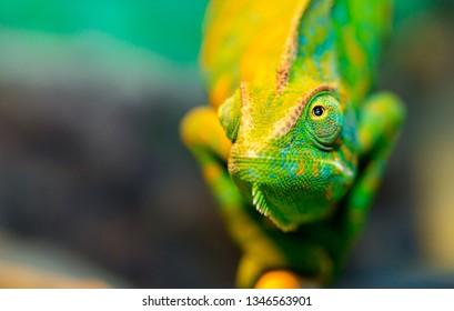 Chamäleon hautnah. Mehrfarbiges schönes Chamäleon-Nahaufnahme-Reptil mit bunter heller Haut. Das Konzept der Verkleidung und der hellen Haut. Exotisches tropisches Haustier