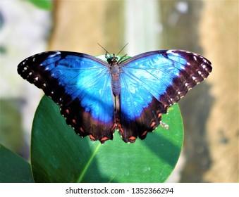 Schöner Menelaos blauer Morpho (Morpho Menelaos) Schmetterling beleuchtet durch Sonnenlicht, auf einem Blatt liegend (Genua, Italien)