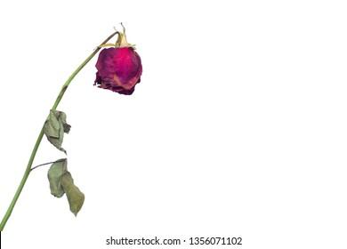 Eine verblasste Rosenblume auf einem weißen Hintergrundkonzept des Verblassens von Gefühlen in Liebe und Impotenz bei Männern und Frigidität bei Mädchen, reduziertem sexuellen Verlangen, Sexologie, Kopierraum