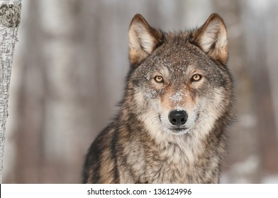 Retrato de lobo gris (Canis lupus) - animal cautivo