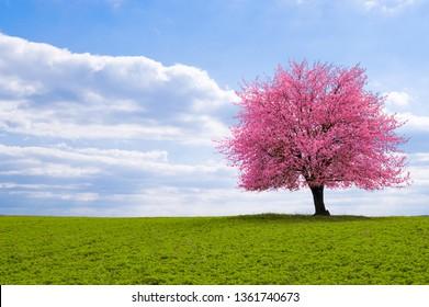 Een tot bloei komende sakura van de kersenboom aan een horizon. Bloeiende boom van Japanse kersensakura op groene weide. Een oude boom met een opvallende stam met in het voorjaar roze bloemen.