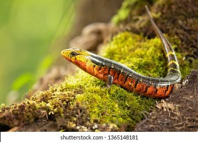 Diploglossusmonotropis。この種は、ニカラグア南部、コスタリカ、パナマ西部の湿気の多い大西洋低地で見られます。IUCNレッドリスト。コスタリカのレインボーストライプガリワスプ