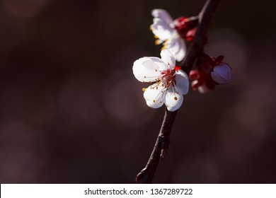 Flowering branch of apricot tree. Spring flowering trees. Macro photography of an open flower.
