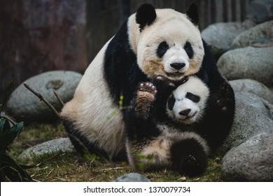 Eine riesige Panda-Mutter und ihr Junges in Chengdu, China.