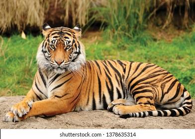Portrait of a Royal Bengal Tiger alert and Staring at the Camera. National Animal of Bangladesh