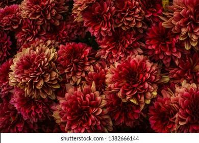 濃い赤と黄色の不機嫌そうな効果を得るために処理されたダリアの花のクローズアップ。テクスチャ、パターン。