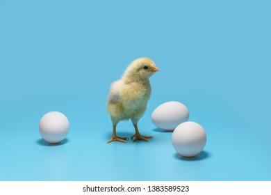 柔らかい黄色の小さなひよこは青い背景の上の3つの白い卵の間に立っています。最小限のコンセプト、コピースペース
