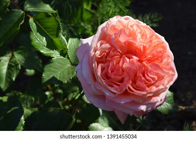 "apricot orange rose flower ""Mary Ann"" in a park on the nature background. from Germany"