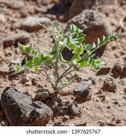 Three Corner Milkvetch - Astragalus geyeri var. triquertus. Rare plant and listed sensitive species in the Pea family (Fabaceae)