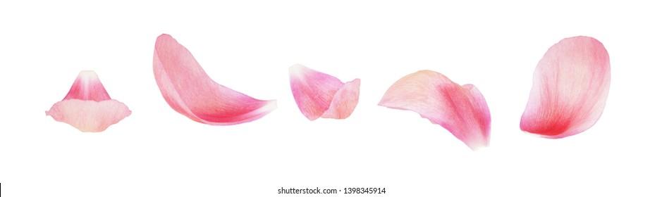 Satz von rosa Pfingstrosenblättern lokalisiert auf Weiß