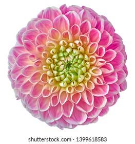 ピンクのダリアの花、クリッピングパスと白い孤立した背景。閉じる。影はありません。デザイン用。自然。