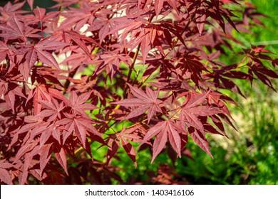 Nahaufnahme der anmutigen roten Blätter des japanischen Ahorns, Acer palmatum Atropurpureum-Baum mit lila Blättern im schönen Frühlingsgarten