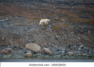A single polar bear centre of image walks on rocky arctic tundra at waters edge with no snow or ice due to climate crisis.Climate Crisis and Breakdown.Climate Emergency.Image