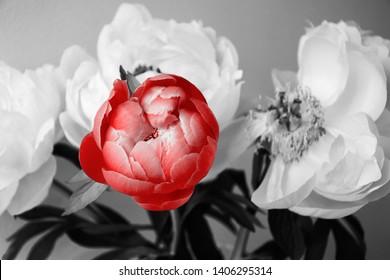 Frischer und verblassender Pfingstrosenblumenstraußhintergrund. Fallende Blütenblätter. Begräbnisblumen; Trauerkarte; Leben Tod Trauer Konzept. Abstrakte Retro-Kunst. Andere, einzigartige Idee. Schwarzes weißes rot getöntes Foto.