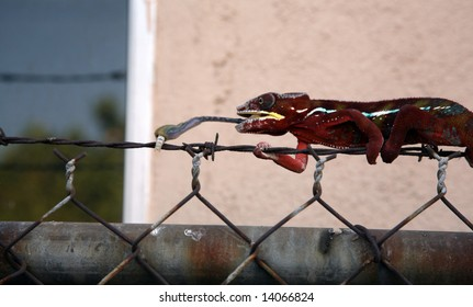 a red madagascar chameleon eats a silk worm with its long tounge