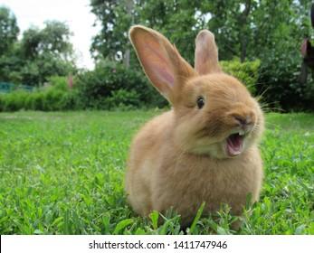 緑の草の上の赤いウサギ。屋外の家の装飾的なウサギ。子うさぎ。口を開けたうさぎがあくびをしている。イースターのウサギ。