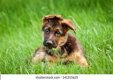 Cachorro de pastor alemán en la hierba