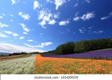 Blue sky gypsophila and california poppy fields