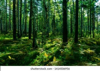 Szenischer Wald der frischen grünen Bäume, Morgen im Wald, schöner Park, Sommerlandschaft, Birkenhain-Sommerzeit-Fichtenwaldlandschaft