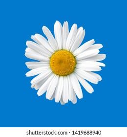 Floración de margaritas. Margarita ojo de buey, Leucanthemum vulgare, margaritas, margarita común, margarita perro, margarita luna.