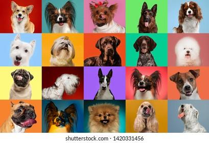 若い犬がポーズを取っています。かわいいわんわんやペットは、カラフルなまたはグラデーションの背景に孤立して幸せそうに見えます。スタジオフォトショット。さまざまな品種の犬のクリエイティブなコラージュ。広告のチラシ。