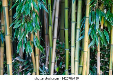 Quiet, shady, thick green bamboo thickets in Palmengarten, Frankfurt Germany.